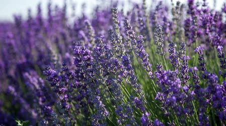 levandule : Flowering springs of lavender swaying in the wind Dostupné videozáznamy