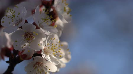 morele : Branches of a blossoming apricot against the blue sky. Close-up Wideo