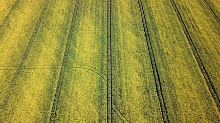 yellow flowers : Aerial view of yellow rapeseed field. Aerial view agricultural fields. Stock Footage