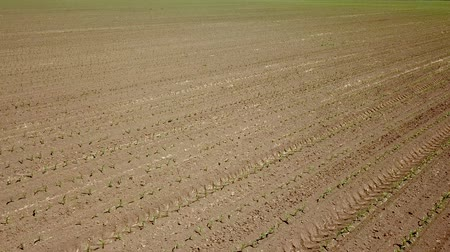 corn crop : Aerial view of corn field. Young green Corn. Corn Aerial View. Stock Footage