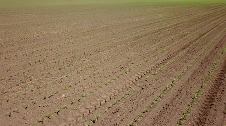 Aerial view of corn field. Young green Corn. Corn Aerial View. Stok Video