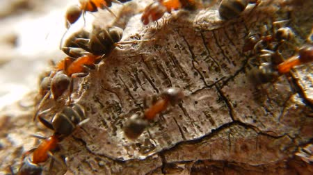 formicidae : Group of Ants on wood Close Up. Red wood ants Stock Footage