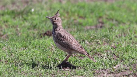 aves : Funny little bird, Crested lark on ground (Galerida cristata) Wildlife Close up
