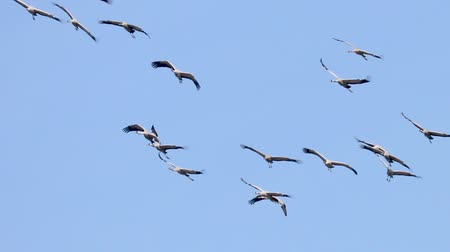 sandhill crane : Flying flock of Common Crane (Grus grus) in flight blue skies, migration