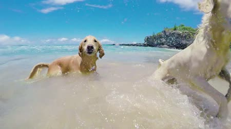 cachorro : Dogs Shaking off Water at the Beach in Slow Motion. Golden Retrievers.