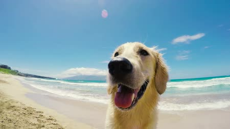 akció : Golden Retriever on the Beach in Hawaii Looking at the Camera With His Tounge Out Panting in Slow Motion Stock mozgókép