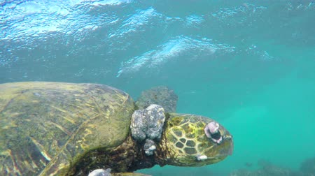 respiração : Sick Hawaiian Green Sea Turtle With Tumors Swimming Underwater