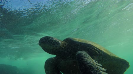 ploutve : Hawaiian Green sea turtle underwater coming up for air in the Hawaiian Islands