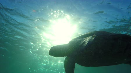 respirare : Hawaiian Green Sea Turtle Nuoto attraverso bella luce del sole subacquea