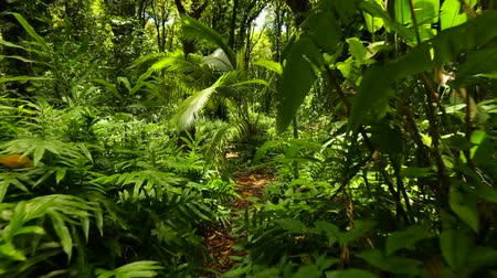 esőerdő : Natural Landscape Travel Scenic Concept. Walking Through Dense Hawaiian Rain Forest with Steadicam. Green Lush Jungle. Stock mozgókép
