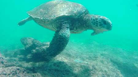 biodiverzitás : Young Man Swimming With Green Sea Turtle Underwater. Hawaiian Islands Nature Animals.