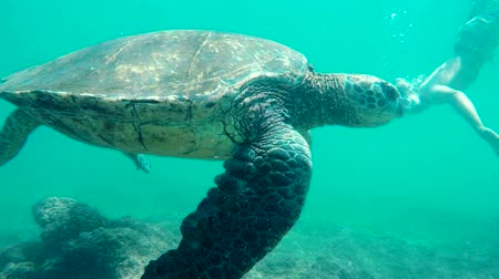 biodiverzitás : SLOW MOTION Young Man Swimming Underwater with Green Sea Turtle in Hawaii. Man and Animals in Nature.