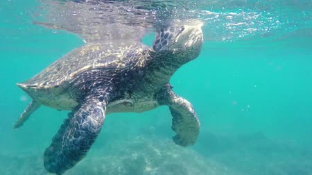 respiração : Green Sea Turtle Underwater coming up for air in the Hawaiian Islands.