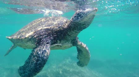 respiração : Green Sea Turtle Underwater coming up for air in the Hawaiian Islands. Planet Earth Nature Animals.