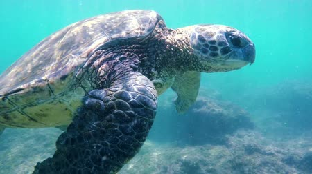 wildtiere : Hawaiian Green Sea Turtle Schwimmen Unter SLOW MOTION Natur Planet Erde Endagered Wildlife-Konzept Videos