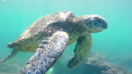 soft : Hawaiian Green Sea Turtle Swimming Underwater. Nature Planet Earth Endagered Wildlife Concept