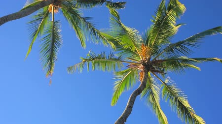climate : Palm Trees on a Beautiful Blue Sky Sunny Background. Smooth Steadicam Motion.
