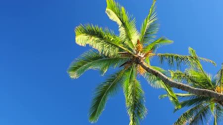 esquerda : Palm Trees on a Beautiful Blue Sky Sunny Background. Smooth Pan Left to Right Motion.