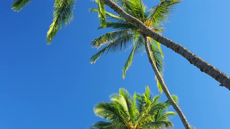 zmiany : Palm Trees on a Beautiful Blue Sky Sunny Background. Smooth Pan Down to Up Motion.