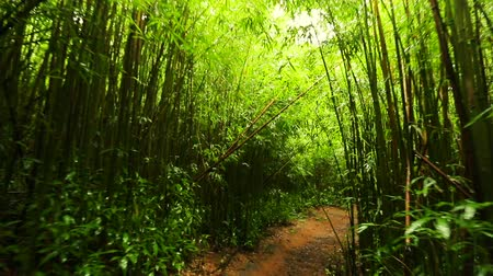 bambusz : Lush Bamboo Rain Forest. Amazing POV Hiking in Bamboo Forest Smooth Steadicam Shot. Outdoor Healthy Active Lifestyle.