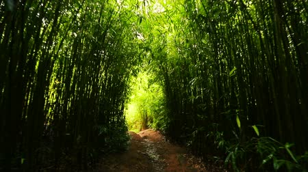 voar : POV Hiking Through Bamboo Forest Tunnel of Trees Smooth Steadicam Shot. Outdoor Healthy Active Lifestyle.