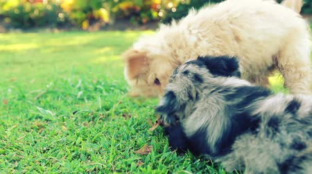 evcil hayvanlar : Puppies Playing in Green Grass. Close Up Shot of Two Adorable Family Pet Puppies Playing Together in the Back Yard. Stok Video