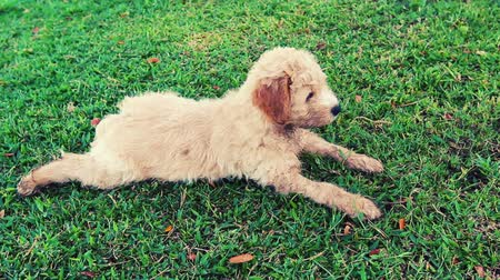 köpek yavrusu : Close Up Shot of Adorable Family Pet Puppy Lying In Green Grass