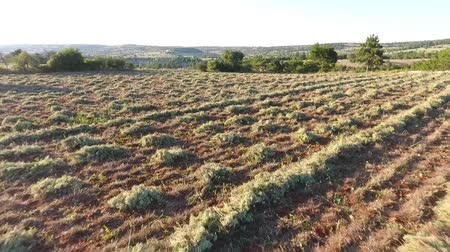 oregano : The oregano fields.Oreganos were cut and ready for harvest and transport.