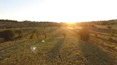 oregano : The sunset view of the oregano fields.Some other fields, trees and the hills. Stock Footage