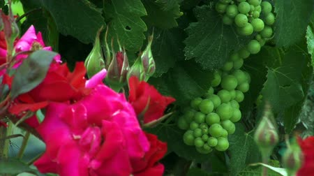 parreira : Wine Country 0106: Green grapes on the vine and red roses.
