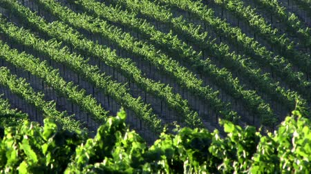 parreira : Wine Country 0104: Rows and rows of grapevines in the sun. Stock Footage