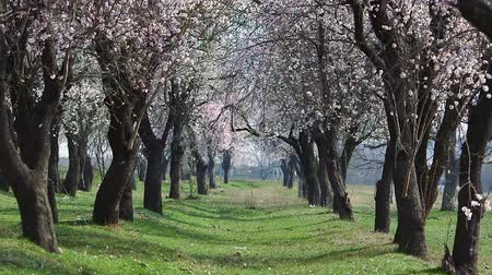 cereja : Spring cherry tree with blossoms Stock Footage