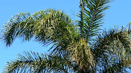subtropics : Australian Golden Cane Palm tree fronds waving in the sea breeze against blue skies.