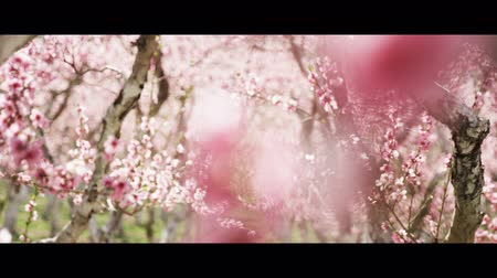 oriental cherry tree : Slow motion panning shot of pink blossoms in orchard