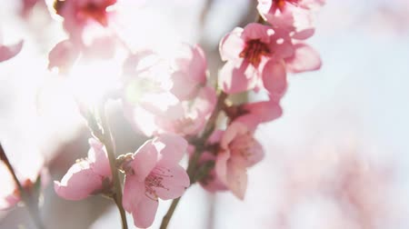 oriental cherry tree : close up of pink blossoms in orchard