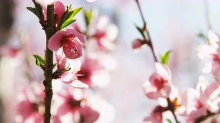 Вишневое дерево : close up of pink blossoms in orchard
