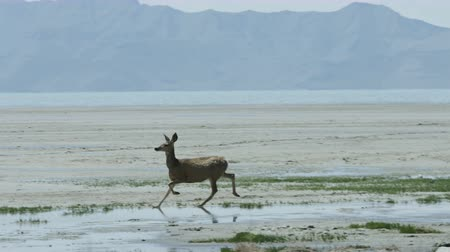 gracioso : Small deer runs through marshy land Vídeos