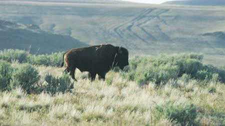 prairie : Close up of buffalo walking through sagebrush