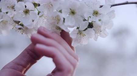 kokulu : close up of hand on white cherry blossom Stok Video