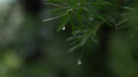 macro of water droplets on pine needles