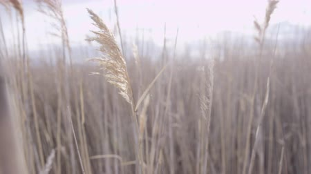 kamış : close up of tall grass blowing in the breeze