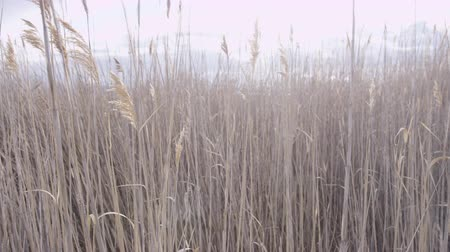 âmbar : tall grass blowing in the wind