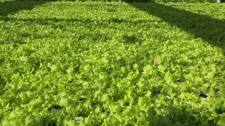 marul : Close-up of lettuce growing in the garden. Stok Video