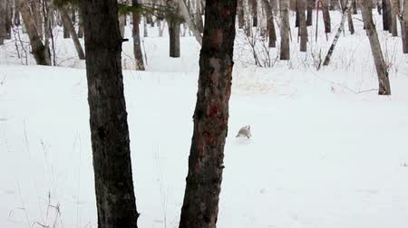 chipmunk : Winter in the forest runs squirrel in winter coloration Stock Footage