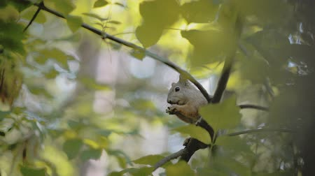 žalud : squirrel eats a nut