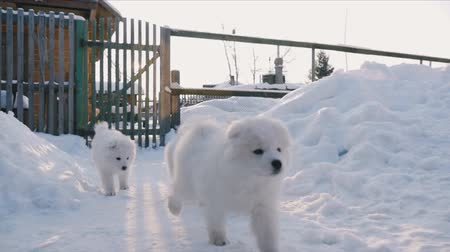 щенок : Puppies running in the snow