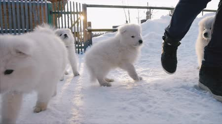 avaliação : Puppies Samoyed running for Man Vídeos