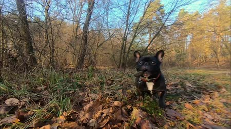 happy bulldog is running through the woods
