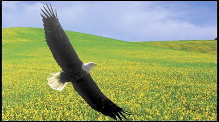 sas : Bald Eagle flies over spring fields and Windmills & Solar panels