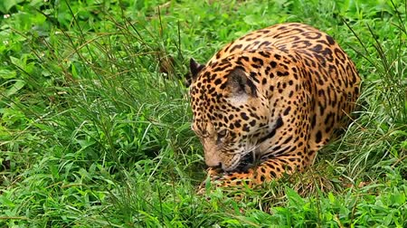 leopard cat : Large male jaguar eating, slow motion HD video Stock Footage